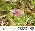 紫色の花を咲かす春の野草ヒメオドリコソウ 28852492