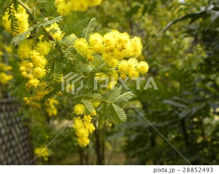 今が盛りの黄色い花はギンヨウアカシア 28852493