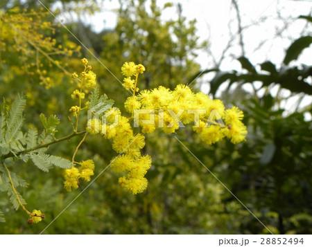 今が盛りの黄色い花はギンヨウアカシア 28852494