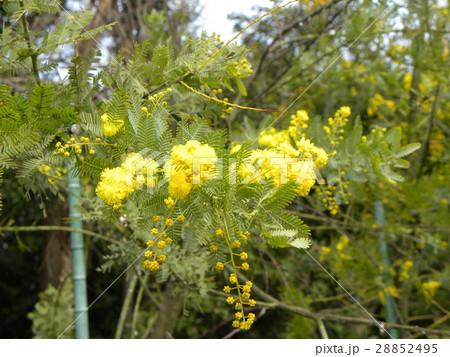 今が盛りの黄色い花はギンヨウアカシア 28852495