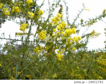 今が盛りの黄色い花はギンヨウアカシア 28852783