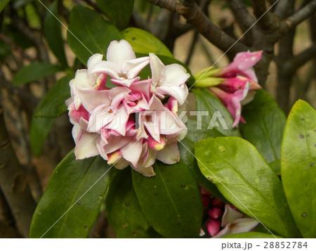 手毬のような丸い形の可愛い花はジンチョウゲ 28852784