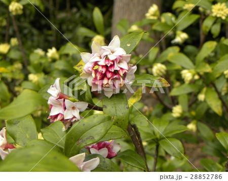 手毬のような丸い形の可愛い花はジンチョウゲ 28852786