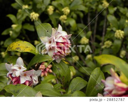 手毬のような丸い形の可愛い花はジンチョウゲ 28852787