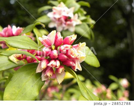 手毬のような丸い形の可愛い花はジンチョウゲ 28852788