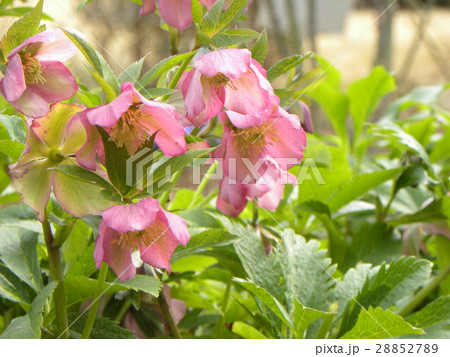 なぜか下を向いて咲くゴージャスな花はクリスマスローズの花 28852789