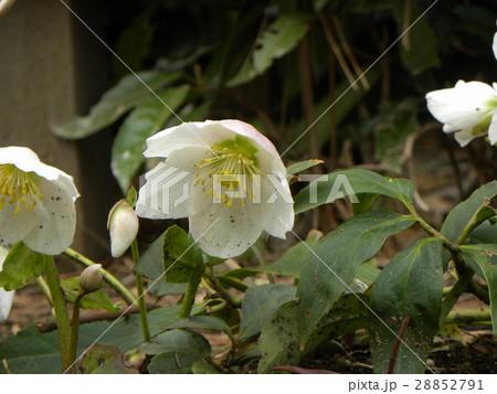 なぜか下を向いて咲くゴージャスな花はクリスマスローズの花 28852791