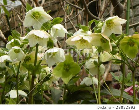なぜか下を向いて咲くゴージャスな花はクリスマスローズの花 28852892