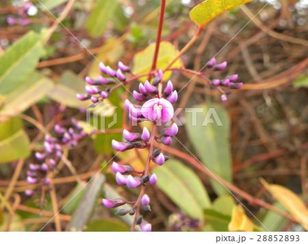 この紫色の花のつる性植物はハーデンベルギア 28852893