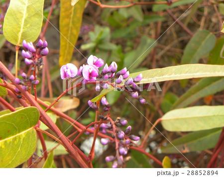 この紫色の花のつる性植物はハーデンベルギア 28852894