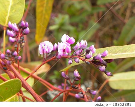 この紫色の花のつる性植物はハーデンベルギア 28852895
