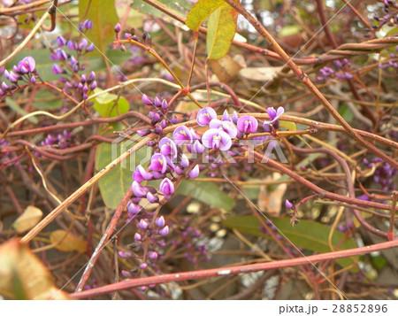この紫色の花のつる性植物はハーデンベルギア 28852896