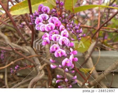 この紫色の花のつる性植物はハーデンベルギア 28852897