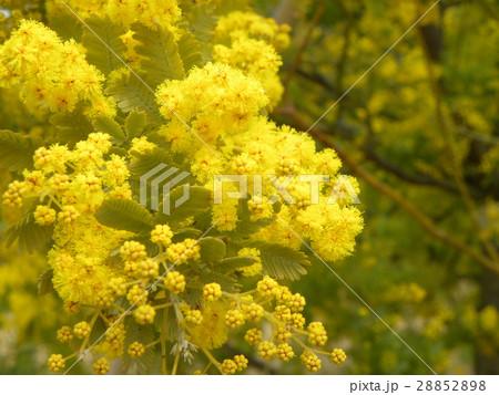 今が盛りの黄色い花はギンヨウアカシア 28852898