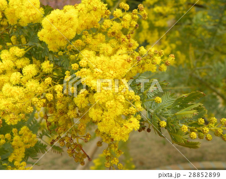 今が盛りの黄色い花はギンヨウアカシア 28852899
