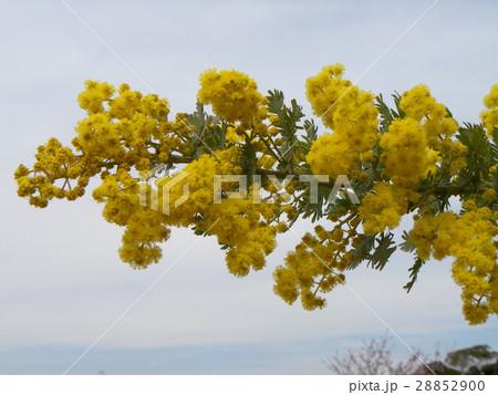 今が盛りの黄色い花はギンヨウアカシア 28852900