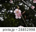 大の字が見られるカワヅザクラの花びら 28852998