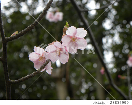 大の字が見られるカワヅザクラの花びら 28852999
