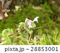 紫色の花を咲かす春の野草ホトケノザ 28853001
