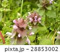 紫色の花を咲かす春の野草ヒメオドリコソウ 28853002