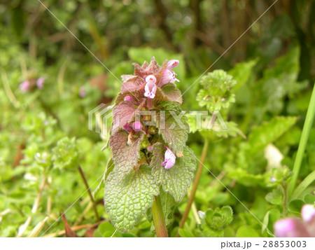 紫色の花を咲かす春の野草ヒメオドリコソウ 28853003