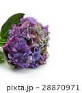 Beautiful hydrangea flower 28870971