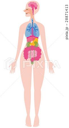 内臓の全身イラスト 28871413