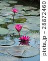 lotus flower blossom 28872460