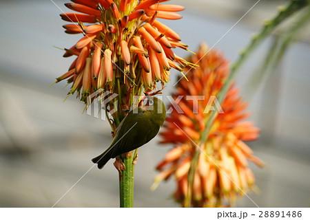 アロエの花にメジロ 28891486