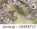 桜とスズメ 28898717