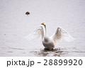 渡り鳥 水鳥 白鳥 No5 28899920
