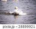 鳥 水鳥 白鳥の写真 28899921