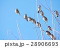雀 スズメ すずめの写真 28906693