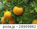 柑橘 柑橘系 シトラスの写真 28909862