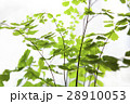 アジアンタム 羊歯植物 シダ類の写真 28910053