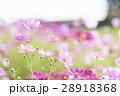 コスモス コスモス畑 花の写真 28918368