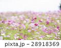 コスモス コスモス畑 花の写真 28918369