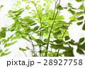 アジアンタム 羊歯植物 シダ類の写真 28927758