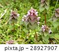 紫色の花を咲かす春の野草ヒメオドリコソウ 28927907