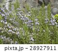 冬から春に掛けて紫色の花を咲かすローズマリリー 28927911
