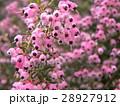 可愛い小さい桃色の花エリカ 28927912