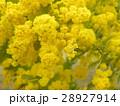 今が盛りの黄色い花はギンコウアカシア 28927914