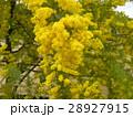 今が盛りの黄色い花はギンコウアカシア 28927915