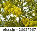 今が盛りの黄色い花はギンコウアカシア 28927967