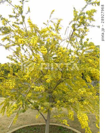今が盛りの黄色い花はギンコウアカシア 28927968