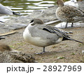 毛繕いをする稲毛海浜公園に飛来したオナガガモ 28927969