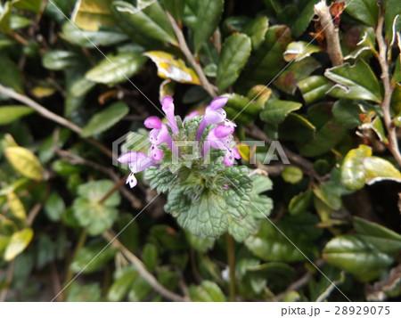 春の土手に咲く野草のホトケノザ 28929075