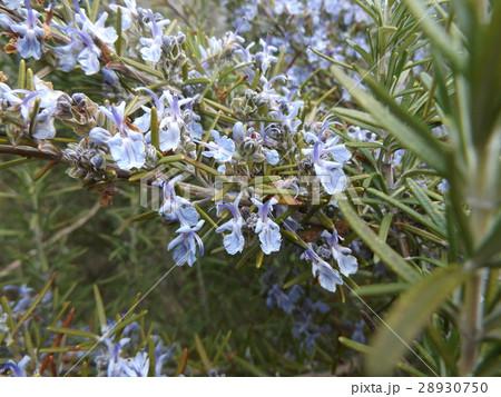 香りの良いローズマリーの紫色の花 28930750