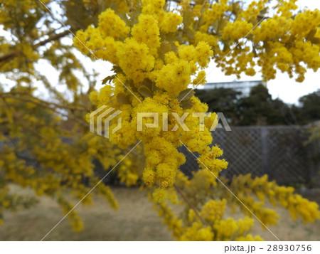 冬から咲くギンヨウアカシアの黄色い花 28930756