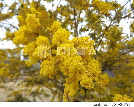 冬から咲くギンヨウアカシアの黄色い花 28930757